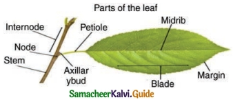 Samacheer Kalvi 6th Science Guide Term 1 Chapter 4 The Living World of Plants 6