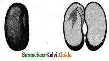 Samacheer Kalvi 5th Science Guide Term 2 Chapter 3 Plants 8