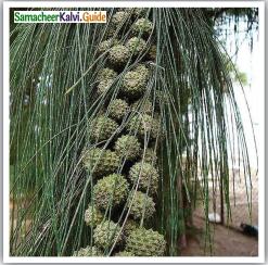 Samacheer Kalvi 12th English Guide Poem 2 Our Casuarina Tree 4