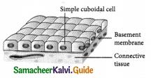 Samacheer Kalvi 9th Science Guide Chapter 18 Organization of Tissues 8