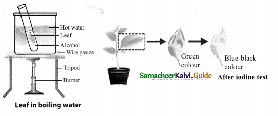 Samacheer Kalvi 9th Science Guide Chapter 19 Plant Physiology 4