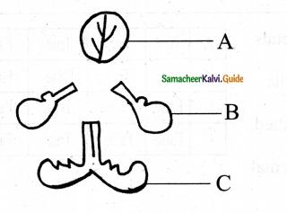 Samacheer Kalvi 11th Bio Botany Chapter 4 Reproductive Morphology 20
