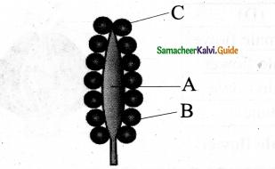 Samacheer Kalvi 11th Bio Botany Chapter 4 Reproductive Morphology 21
