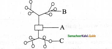 Samacheer Kalvi 11th Bio Botany Chapter 4 Reproductive Morphology 22