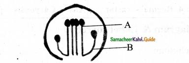Samacheer Kalvi 11th Bio Botany Chapter 4 Reproductive Morphology 23