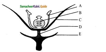 Samacheer Kalvi 11th Bio Botany Chapter 4 Reproductive Morphology 27