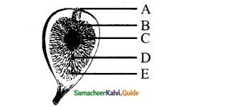 Samacheer Kalvi 11th Bio Botany Chapter 4 Reproductive Morphology 29