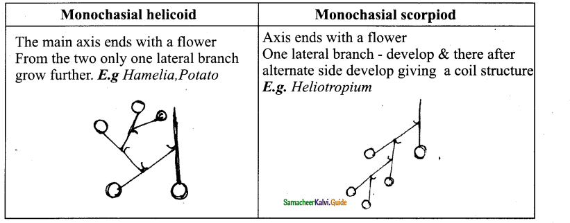 Samacheer Kalvi 11th Bio Botany Chapter 4 Reproductive Morphology 33