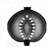 Samacheer Kalvi 11th Bio Botany Chapter 4 Reproductive Morphology 6