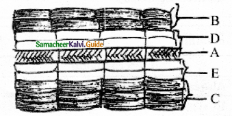 Samacheer Kalvi 11th Bio Botany Guide Chapter 10 Secondary Growth 5