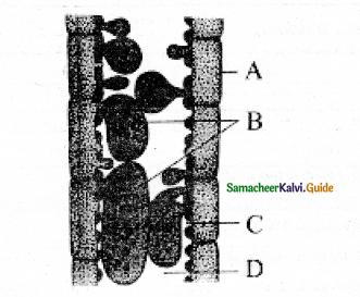 Samacheer Kalvi 11th Bio Botany Guide Chapter 10 Secondary Growth 7