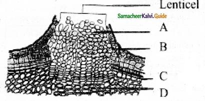 Samacheer Kalvi 11th Bio Botany Guide Chapter 10 Secondary Growth 8