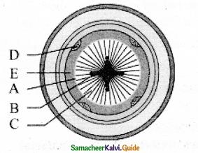 Samacheer Kalvi 11th Bio Botany Guide Chapter 10 Secondary Growth 9