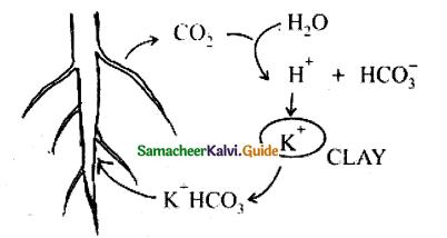 Samacheer Kalvi 11th Bio Botany Guide Chapter 11 Transport in Plants 11