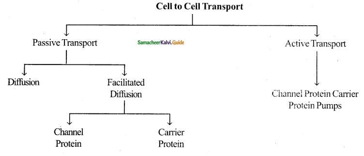 Samacheer Kalvi 11th Bio Botany Guide Chapter 11 Transport in Plants 16
