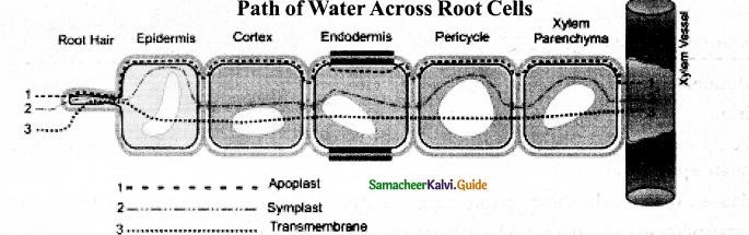 Samacheer Kalvi 11th Bio Botany Guide Chapter 11 Transport in Plants 18