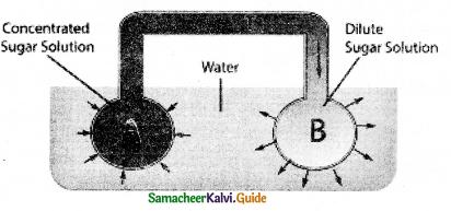 Samacheer Kalvi 11th Bio Botany Guide Chapter 11 Transport in Plants 22
