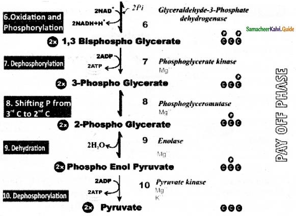 Samacheer Kalvi 11th Bio Botany Guide Chapter 14 Respiration 10