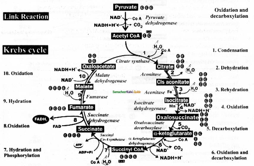 Samacheer Kalvi 11th Bio Botany Guide Chapter 14 Respiration 12