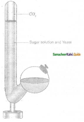Samacheer Kalvi 11th Bio Botany Guide Chapter 14 Respiration 15