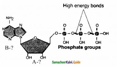 Samacheer Kalvi 11th Bio Botany Guide Chapter 14 Respiration 5