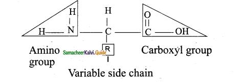 Samacheer Kalvi 11th Bio Botany Guide Chapter 8 Biomolecules 16