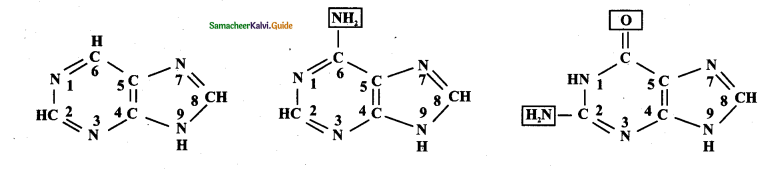 Samacheer Kalvi 11th Bio Botany Guide Chapter 8 Biomolecules 22