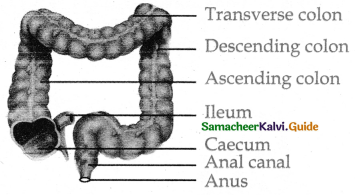 Samacheer Kalvi 11th Bio Zoology Guide Chapter 5 Digestion and Absorption 17