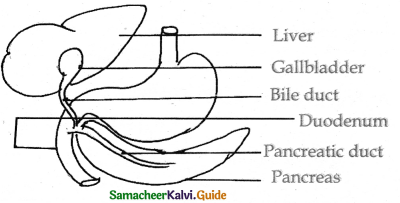 Samacheer Kalvi 11th Bio Zoology Guide Chapter 5 Digestion and Absorption 20