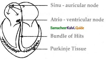 Samacheer Kalvi 11th Bio Zoology Guide Chapter 7 Body Fluids and Circulation 1