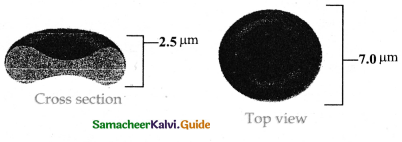 Samacheer Kalvi 11th Bio Zoology Guide Chapter 7 Body Fluids and Circulation 5