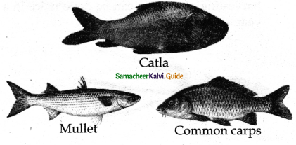 Samacheer Kalvi 11th Bio Zoology Guide Chapter 12 Trends in Economic Zoology 11