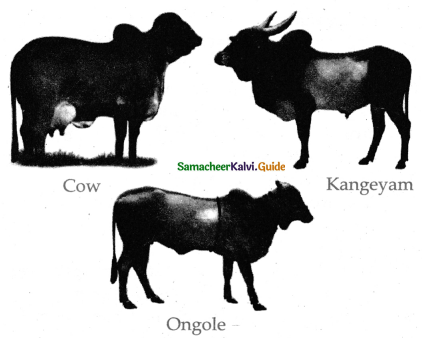 Samacheer Kalvi 11th Bio Zoology Guide Chapter 12 Trends in Economic Zoology 14