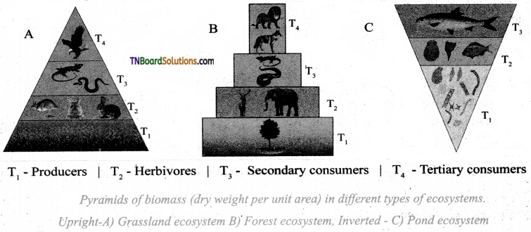 TN Board 12th Bio Botany Important Questions Chapter 7 Ecosystem 4