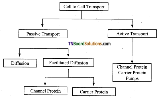 TN Board 11th Bio Botany Important Questions Chapter 11 Transport in Plants 3
