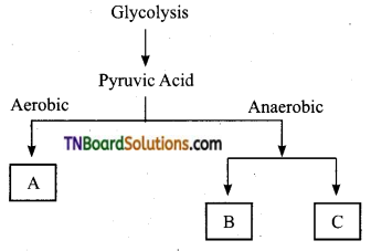 TN Board 11th Bio Botany Important Questions Chapter 14 Respiration 19