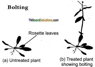 TN Board 11th Bio Botany Important Questions Chapter 15 Plant Growth and Development 2