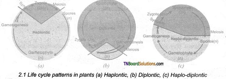 TN Board 11th Bio Botany Important Questions Chapter 2 Plant Kingdom 1