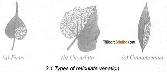 TN Board 11th Bio Botany Important Questions Chapter 3 Vegetative Morphology 1