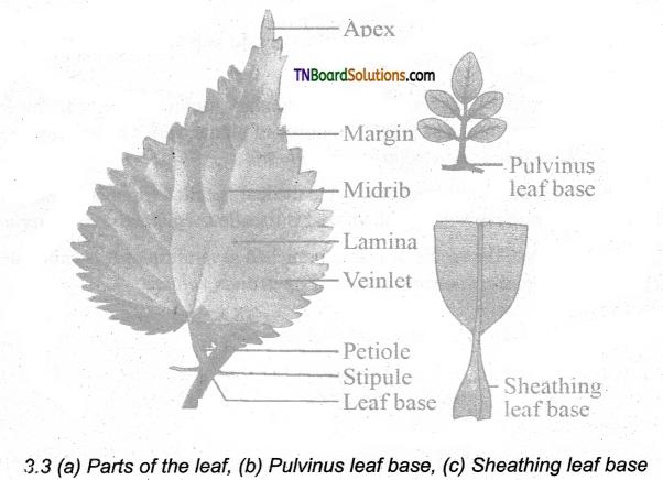 TN Board 11th Bio Botany Important Questions Chapter 3 Vegetative Morphology 3
