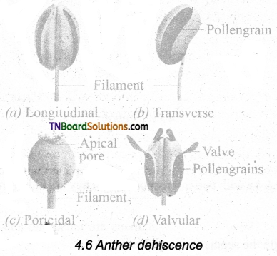 TN Board 11th Bio Botany Important Questions Chapter 4 Reproductive Morphology 4