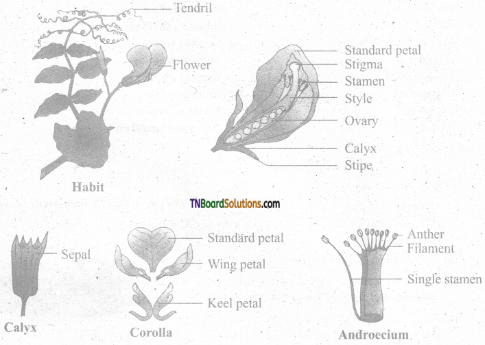 TN Board 11th Bio Botany Important Questions Chapter 5 Taxonomy and Systematic Botany 6