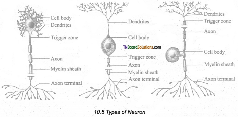 TN Board 11th Bio Zoology Important Questions Chapter 10 Neural Control and Coordination 2