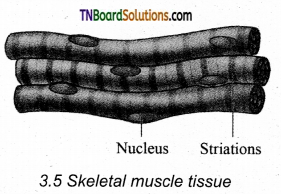 TN Board 11th Bio Zoology Important Questions Chapter 3 Tissue Level of Organisation 4