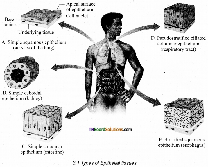 TN Board 11th Bio Zoology Important Questions Chapter 3 Tissue Level of Organisation