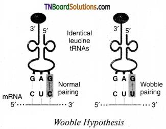 TN Board 12th Bio Zoology Important Questions Chapter 5 Molecular Genetics 1