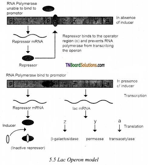 TN Board 12th Bio Zoology Important Questions Chapter 5 Molecular Genetics 3